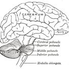 Cerebellum - Wikipedia