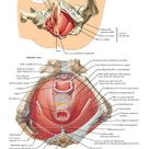 Pelvic Diaphragm Female Anatomy