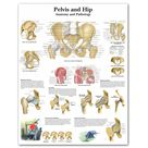 WANGART Pelvis and Hip Chart Anatomy and Pathology Poster Canvas Print Wall Pictures for Medical Education Office Home Decor - 60x80cm no frame