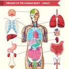 Baixar Gráfico mostrando órgãos do corpo humano gratuitamente