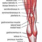 Lower Muscle Anatomy