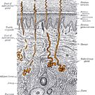 Eccrine sweat gland - Wikipedia