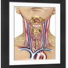 Large Framed Photo. Anatomy of human neck