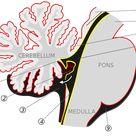 Choroid plexus - Wikipedia