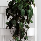 How To Care For Heartleaf Philodendron (Philodendron Scandens) - Smart Garden Guide