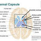 internal capsule - Google Search