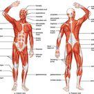 Muscular System - Survival World