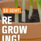 So geht Regrowing Gemüsereste richtig verwerten
