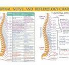 Spinal Column Vertebrae Anatomy Poster  24 X 36 | Etsy