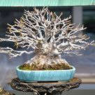 Bonsai tree gallery