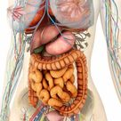 10 inch Photo. Female body showing digestive and circulatory