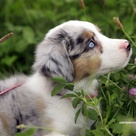 Mini Australian Shepherds
