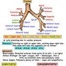 Thorax - Areas/Organs - Respiratory system - Bronchopulmonary segments