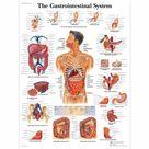 Gastrointestinal System Laminated Chart