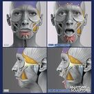 Surprise   Facial expressions anatomy, Anatomy For Sculptors