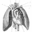 A1 Poster. Pulmonary artery engraving 1899