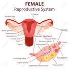 female reproductive system, the uterus and ovaries scheme, the..