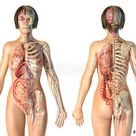 Woman anatomy cardiovascular system with skeleton and internal organs.