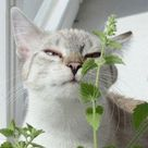 Cultivez les herbes dont votre chat raffole
