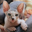 Hairless Cats (Episode 11)