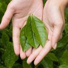 Tea Plant
