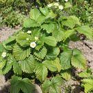 Wald-Erdbeere - Fragaria vesca var. vesca
