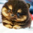 Pomeranian Husky