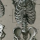 Human skeletal anatomy by dwil05 on DeviantArt