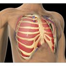 A1 Poster. Cutaway view of human lungs and rib cage