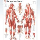 The Muscular System Chart 22x28