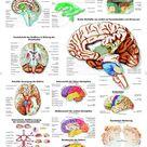 Das menschliche Gehirn Lehrtafel Anatomie 50 x 67 cm Poster | Business & Industrie, Medizin & Labor, Medizinische Lehrmittel | eBay!