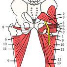 anatomy pelvis sciatic nerve piriformis muscle