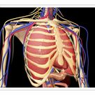 25cm Photo. Human rib cage with lungs and nervous system