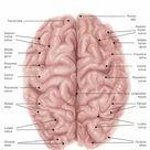 1000 Piece Puzzle. Human brain anatomy, superior view