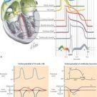CP Physiology GU SOM Flashcards