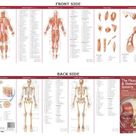 Anatomical Chart Company's Illustrated Pocket Anatomy: The Muscular & Skeletal Systems Study Guide - False