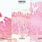 Stomach Histology - Stomach (labels) - histology slide