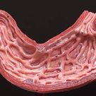 gross anatomy of the human stomach