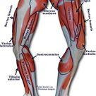 Human Leg Muscles Diagram