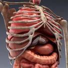 Animated internal organs, skeleton