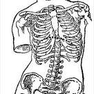 Anatomical Illustration,