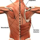 Scapula Stability   My Family Physio