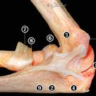 Fig. 16 Medial osteoarticular view of the elbow showing the longer...
