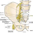intermediate mesoderm – DOTE Anatomy topics