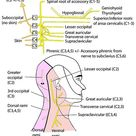 Head and Neck - Nerves - Somatic nerves - Cervical plexus