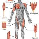 How does the muscular system work?