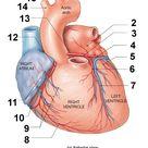Anatomy, Heart