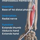 Extensor pollicis longus muscle (Musculus extensor pollicis longus)
