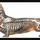 Skeletal structure of a dachshund