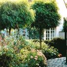 Robinia pseudo. 'Umbraculifera', Kugel-Robinie - Hochstamm